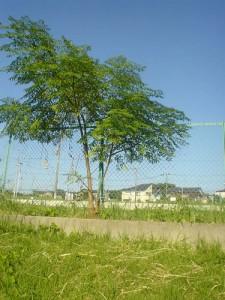 善福寺川沿いサイクリング途上にて見つけた感じの良い木