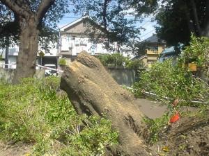 川沿いの遊歩道に大きな木が数本、倒れていた