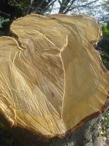 倒された木の断面